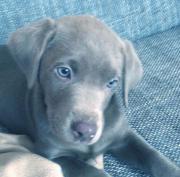 Labrador-Welpen mit