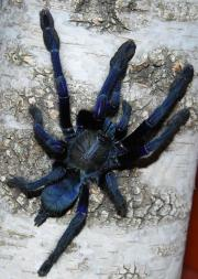 Lampropelma violaceopes 3-