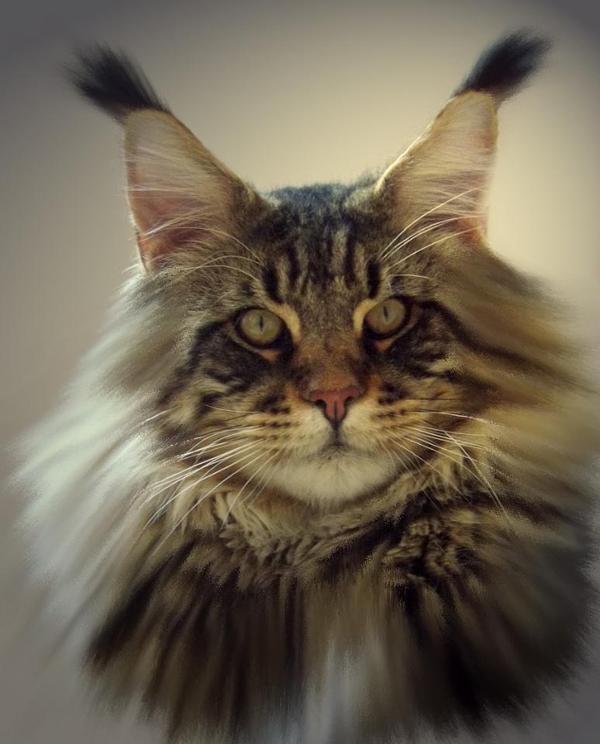 Blue Silver Tabby Cat