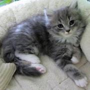 MAINE COON KITTEN -