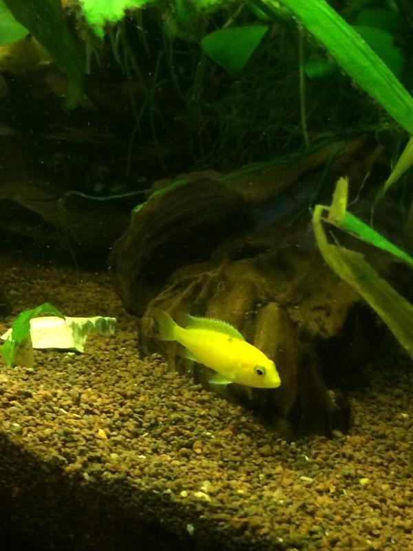 malawi barsch labidochromis caeruleus yellow gelber maulbr ter nachzucht in schweigen. Black Bedroom Furniture Sets. Home Design Ideas
