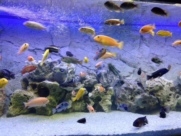 malawi buntbarsch fisch aquarium in ludwigshafen fische aquaristik kaufen und verkaufen ber. Black Bedroom Furniture Sets. Home Design Ideas