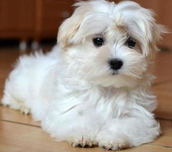 Malteser Welpen In Mannheim Hunde Kaufen Und Verkaufen
