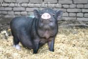 Minischweine / Microschweine aus