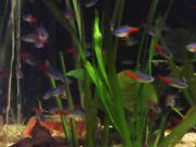 Neonfische