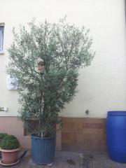 Olivenbaum-ca. 3