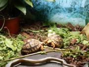 Pantherschildkröten Jungtiere (Geochelone