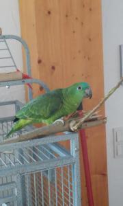 Papagei Blaustirnamazone mit