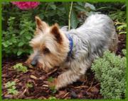 Patenhund: Cindy-Lou,