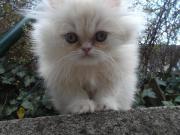 Perser Katze Baby