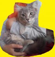 Perser Katzendame