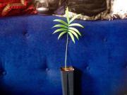 Pflanze: Cycas Clivicola