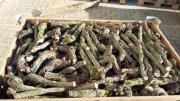 Rebknorzen Brennholz gesägt