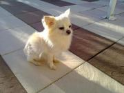 Reinrassiger Chihuahua Deckrüde(
