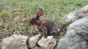Rex Kaninchen und