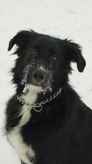 Rumänischer Herdenschutzhund