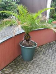 Schöne Palme