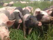 Schwein, Schlachtschwein