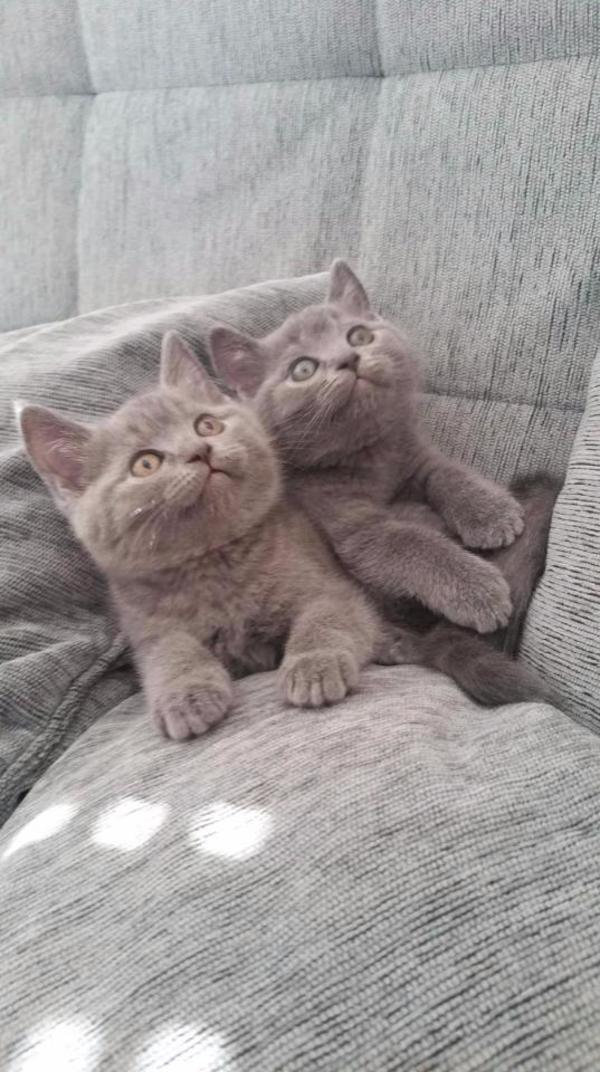scottish fold scottish straight bkh kitten in siegen katzen kaufen und verkaufen ber. Black Bedroom Furniture Sets. Home Design Ideas