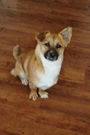 Shila, junge Chihuahua