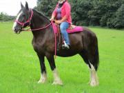 Shire- Horse-Stute