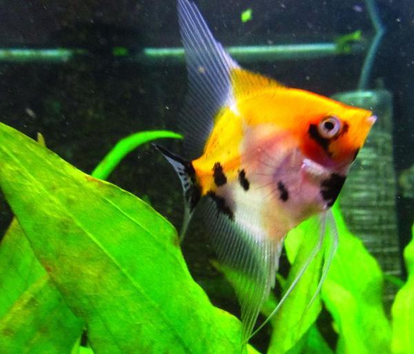 Aquarium fische zubeh r in kirchheim unter teck for Skalare zucht