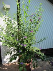 Solanum, Kartoffelbaum, Enzianbaum,