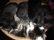 Süße Babykatzen abzugeben