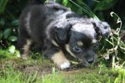 Süßer Chihuahua Welpe (