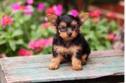 Terrier-York-shire
