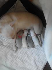 Traumhaft schöne Chihuahua
