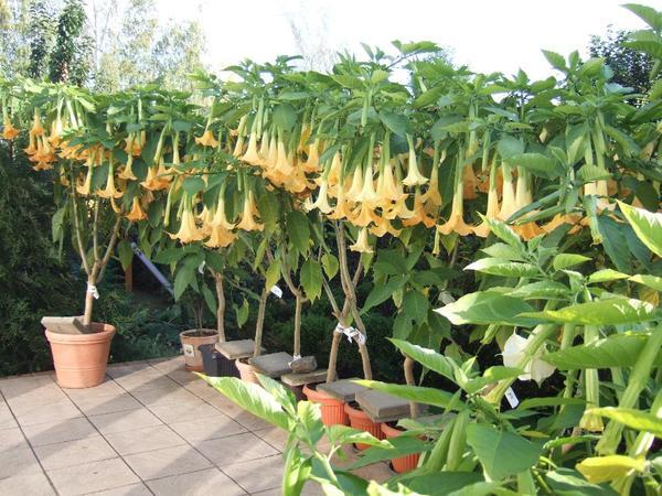 trompetenblume datura gelb in leipzig pflanzen kaufen und verkaufen ber private kleinanzeigen. Black Bedroom Furniture Sets. Home Design Ideas