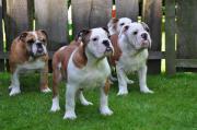 Typvolle Engl. Bulldoggen