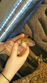 verkaufe meine Leguane +