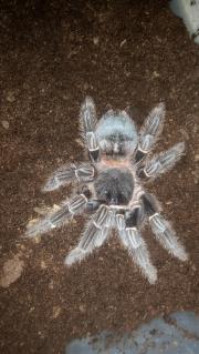 Verschiedene Vogelspinnen