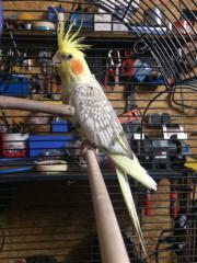 vogel nymphensittich