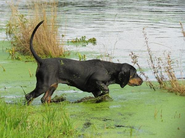 hunde welpen gonczy polski polnischer laufhund