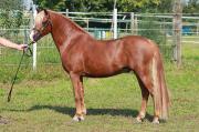 Welsh Pony Hengst -
