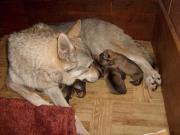 Wolfshunde ! Tschechoslowakische Wolfhunde