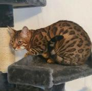 Wunderschöne Bengal Kätzin,