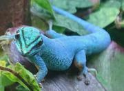 Wunderschöne Lygodactylus Williamsi /