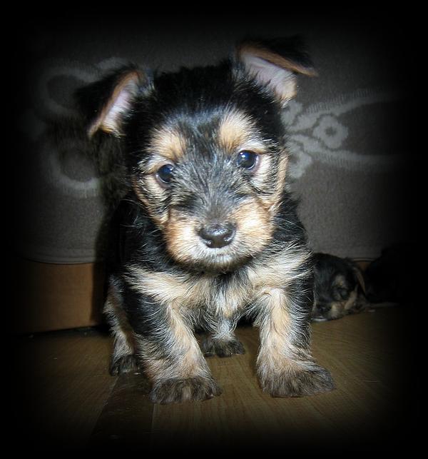 Atlanta, GA - Cairn Terrier/Jack Russell Terrier Mix. Meet Walton a ...