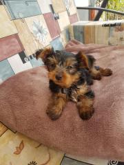 Yorkshire Terrier Welpe