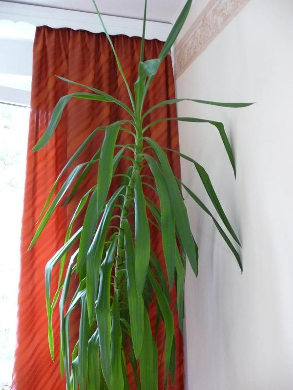 Yucca palme zimmer yucca palme in dachau pflanzen for Zimmer yucca palme bluht