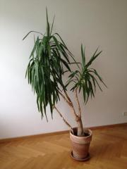 Yucca-Palme zu