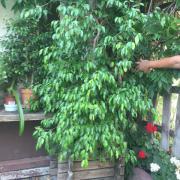 Zimmerpflanze Birkenfeige, Ficus