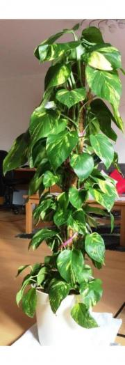 Zimmerpflanze Efeutute Epipremnum