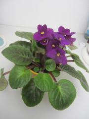 Zimmerpflanzen - Usambaraveilchen, Sukulente,
