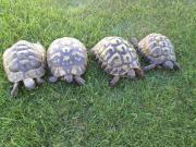 Zuchtpaar griechische Landschildkröten