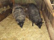 Zwei Schafsmädels! Zu